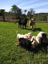 Labrador puros $ 250 Sou de Nova Hartz