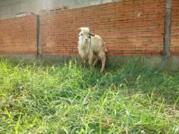 1 bode 3 cabras wats 995033883
