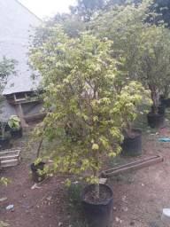 Árvores jabuticabeiras hibridas e Sabará todas produzindo