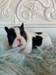 Bulldog Francês FÊMEA de Excelente Linhagem