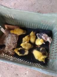 Vendo filhotes de pato