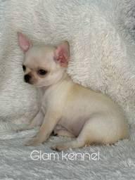 Chihuahua pelo curto macho disponível
