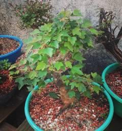 Pre Bonsai de Acer Kaede