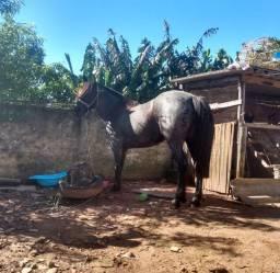 Égua Moura, crioula pura