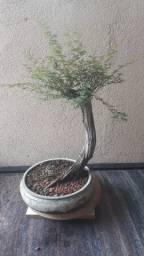Pré Bonsai de Calliandra Depauperata 30cm