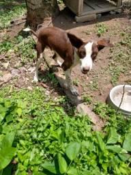 Labrador misturado 6 meses