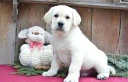 Labrador - Lindos Filhotes Macho e Fêmea