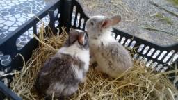 Filhotinhos de coelho