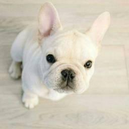 Bulldog francês filhotes com suporte veterinário