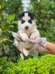 Husky Siberiano ja com a primeira vacina