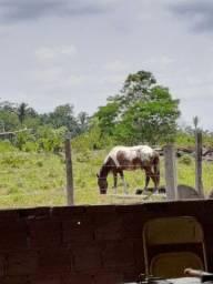 Cavalo apaluso