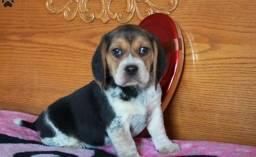 Beagle filhotes com benefícios e garantias entre em contato!