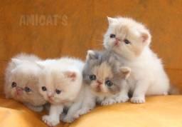 Filhotes de Persa