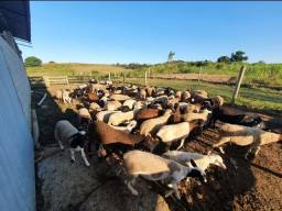 Título do anúncio: Venda Lote de 40 cordeiros / carneiro