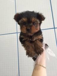 Yorkshire Terrier tamanhos micro a pronta entrega 0.6