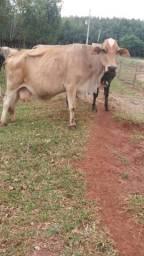 Vende se 2 vaca girolandia