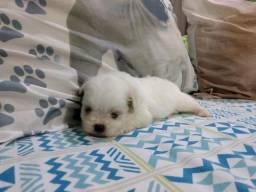 Shih Tzu já disponível para ir seu novo lar e ser muito amado