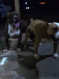 Filhotes de american terrier pitbull