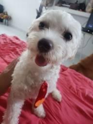 Procuro namorada - Poodle toy micro