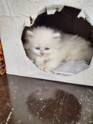 Fêmea Branca Gato Persa