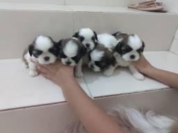 Filhotes de Shitzu disponível