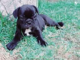 Bulldog Frances . Filhote top