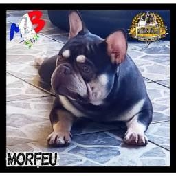 Bulldog Francês Exóticos ( chocolate, fulvos e creme)