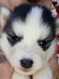 Husky siberiano macho  e fêmea disponível