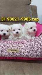 Título do anúncio: Canil Pet Filhotes Cães Líder Maltês Yorkshire Basset Shihtzu Beagle Lhasa