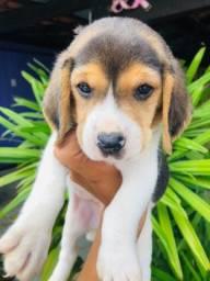Lindos beagle filhote com vacina importada e pedigree