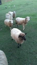 Vendo carneiros muito bem  cuidado desverminados  pronto pra abate ou criação.