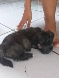 Vendo- se um filhote de shitzu com poodle