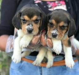 Beagle alto padrão da raça disponível.