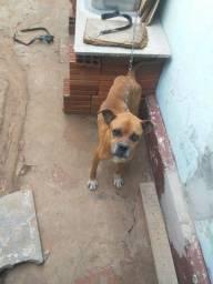 Cachorra Boxer