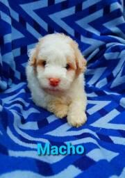 Filhote de poodle puro/// MACHO e FÊMEA