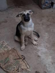 Cachorro Pastor Capa Preto