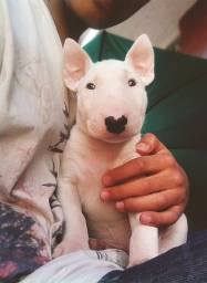 Bull Terrier - Macho e Fêmea - c/ Pedigree