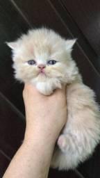 Vendo lindas filhotes de gatas persa