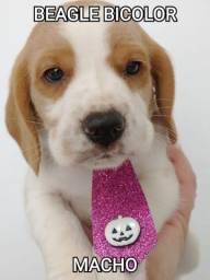 Beagle macho uma fofura, venha conferir!