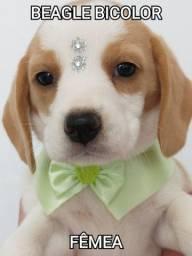 Beagle femea bicolor disponível