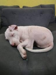 Vendo pitbull ele tem 5 meses, Leia a descrição