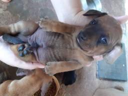 Cachorro macho Tckel