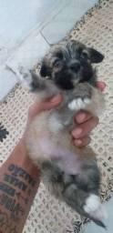 Poodle fêmea 250 para vender logo