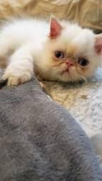 Gato persa olhos azuis