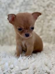 Chihuahua fêmea dourada linhagem e padrão perfeitos super pequena