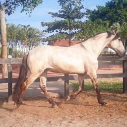 Cavalo castrado/mula,ambos m.picada