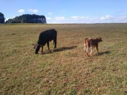 Vendo vaca com novilha