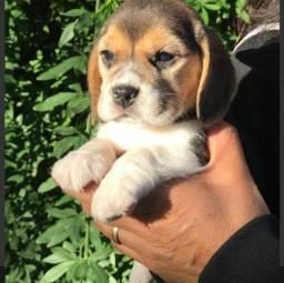 Beagle com garantia de genética em contrato