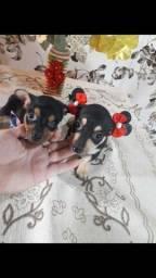 cachorro / raça: pinscher