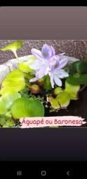 Título do anúncio: Plantas aquáticas